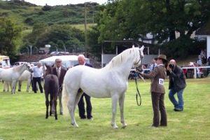 Festival of the Connemara Pony